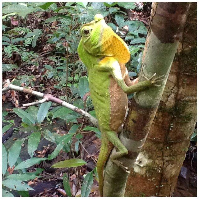 Agama zielona, Sinharaja Rarainforest, Sri Lanka •Foto: D. Jaworska