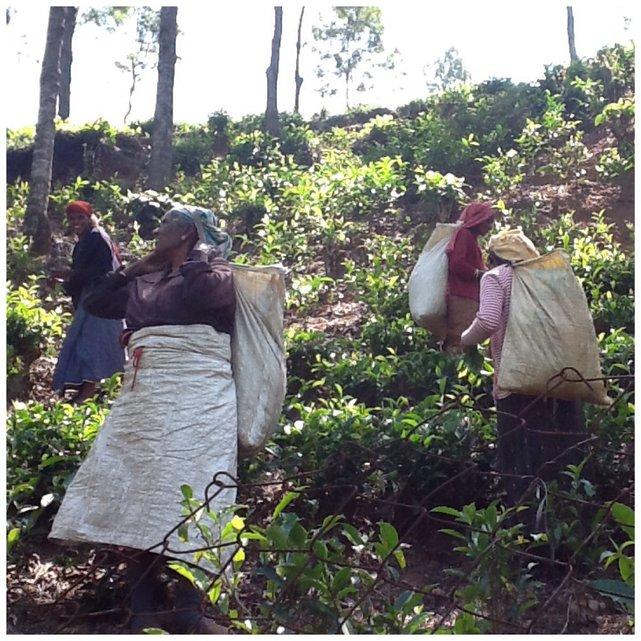 Kobiety zbierające herbatę. Z każdej gałązki zrywane są jedynie 2-3 najmłodsze, najbardziej soczyste listki.•Foto: D.Jaworska