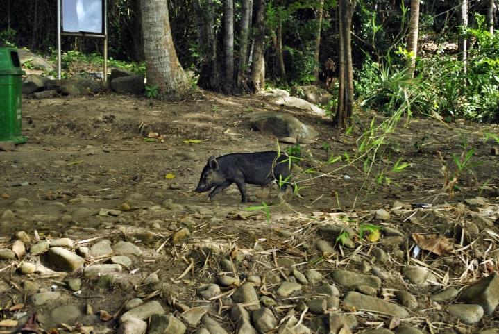 Wietnamska świnka zwisłobrzucha w naturze. Con Dao. Wietnam.  Foto: D. Jaworska