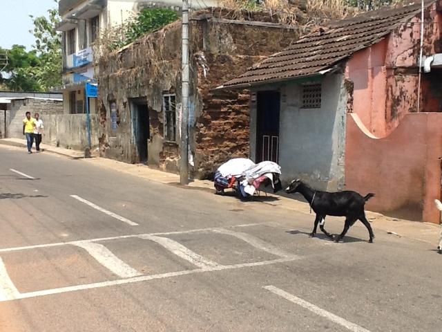 Koza na pasach. Indie