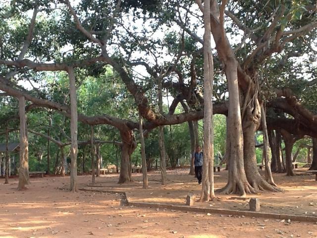 Stare drzewo. Foto: D. Jaworska
